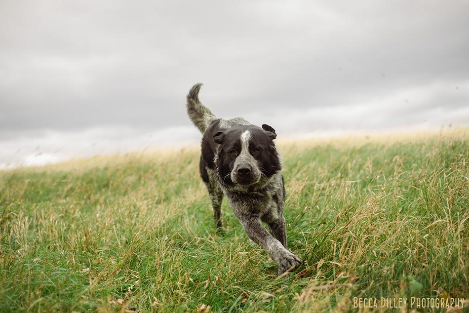 minnsota farm photographer dog running through paradox farm