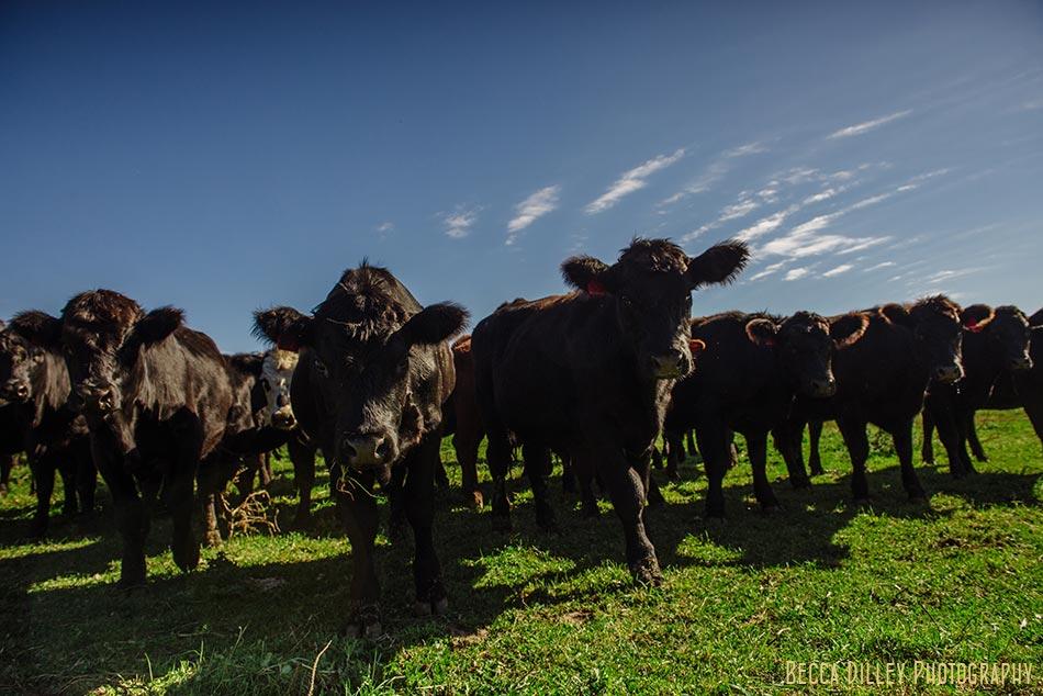 minnsota farm photographer black angus cows