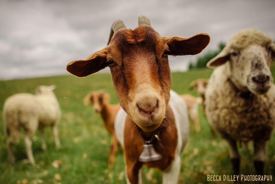 minnsota farm photographer sheep and goats