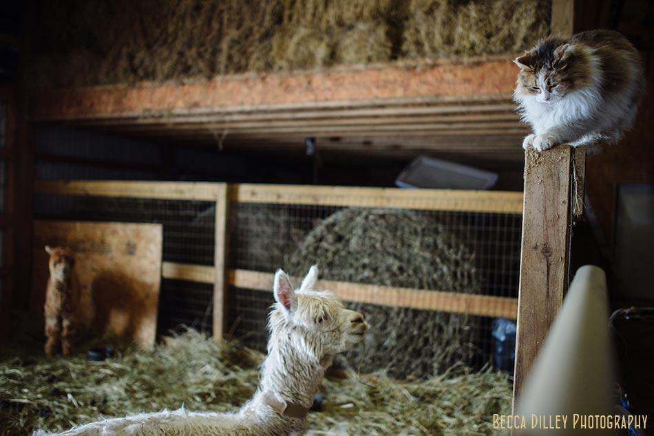 alpaca and cat