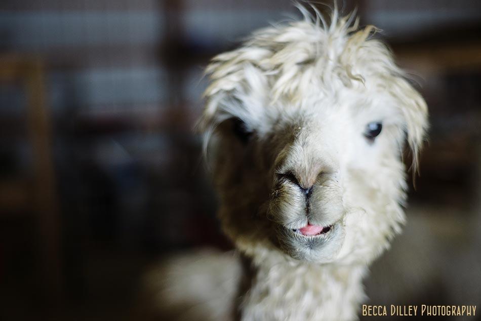 minnsota farm photographer alpaca