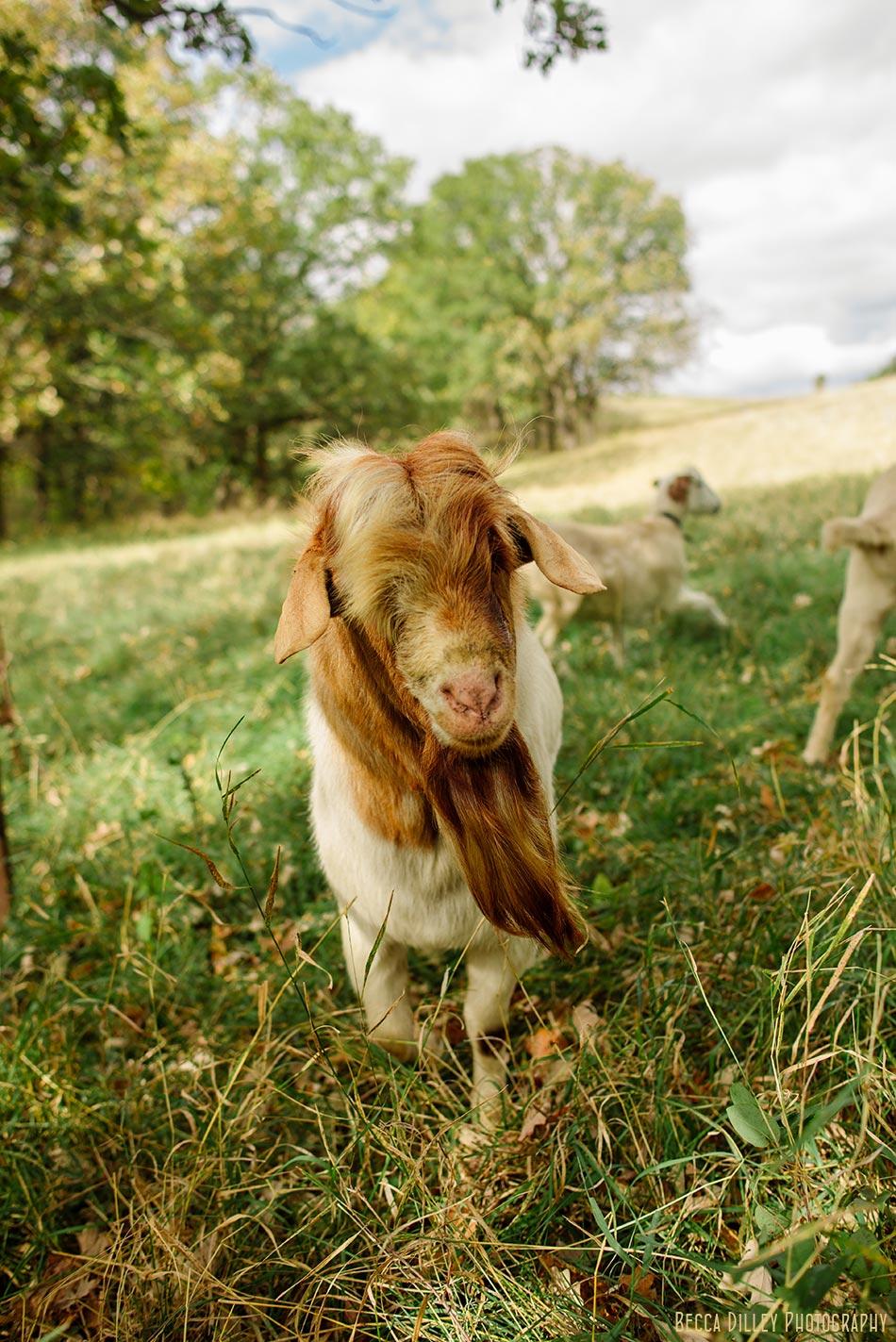 minnsota farm photographer handsome goat