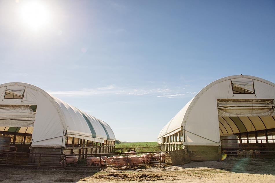 minnsota farm photographer pigs in barn at hidden springs