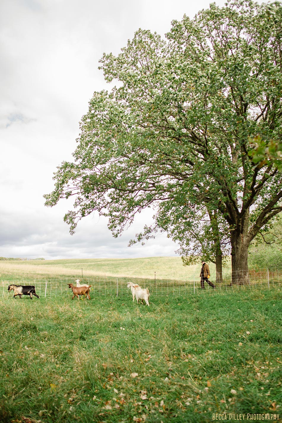 minnsota farm photographer goats being headed at paradox farm